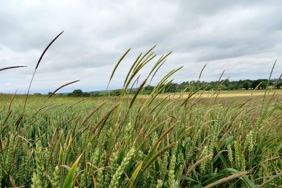 Commercial drones to lead the fight against blackgrass